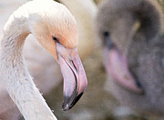 Flamingos Photos - Pink And Gray by Fraida Gutovich
