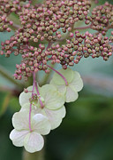 Pink And Green Hydrangea Closeup Print by Carol Groenen