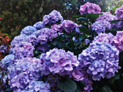 Purple Flora Digital Art Prints - Pink and Mauve Hydrangeas Print by Kaye Menner