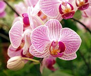 Orchid Buds Prints - Pink and Purple Butterfly Orchids Print by Yali Shi