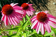 Cone Flower Digital Art Posters - Pink and Purple Echinacea Cone Flowers Macro Poster by Amy McDaniel