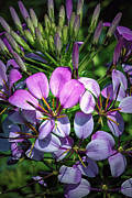 Bursting Prints - Pink and Purple Floral Pallete Print by Bill Tiepelman