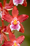 Orchids Photos - Pink and Red Orchid Flower by Oscar Gutierrez
