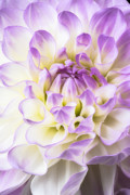 Pinks Posters - Pink and white dahlia Poster by Garry Gay