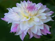 Kathleen Struckle - Pink And White Dahlia