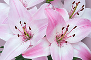 Jane McIlroy - Pink and White Lilies