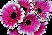 Pink And White Ornamental Gerberas Print by Kaye Menner