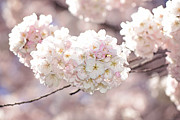 Cherry Blossoms Framed Prints - Pink and White Pompoms of Light Framed Print by Lisa Knechtel