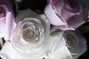 Jennifer Lyon - Pink and white roses