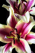 Lilies Posters - Pink and white tiger lily Poster by Garry Gay