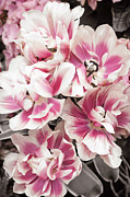 White Flower Photos - Pink and white tulips by Elena Elisseeva