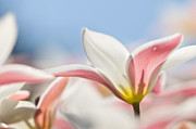 Flora Photos - Pink and White Tulips by Oscar Gutierrez