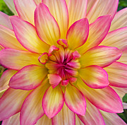 Eva Kondzialkiewicz - Pink And Yellow Dahlia