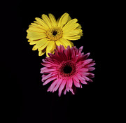 Flower Works Photos - Pink and Yellow Gerber Daisies. by Chris  Kusik