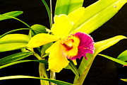 Colored Background Originals - Pink and yellow orchid flower  by Tibor Co