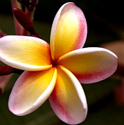 Frangipanis Prints - Pink and Yellow Plumeria Print by Brian Harig