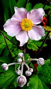 Neurotic Images Photography Prints - Pink Anemone Print by Chalet Roome-Rigdon