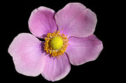 Rich Colorful Flower Prints - Pink Anemone Print by Matthias Hauser