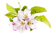 Blossom Photos - Pink apple blossoms by Elena Elisseeva