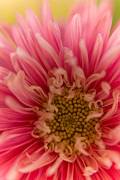 Passionfruit Metal Prints - Pink Aster Metal Print by Benita Walker