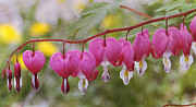Bleeding Hearts Prints - Pink Bleeding Hearts Print by Cindi Ressler