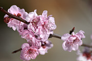 Pink Blossom Print by Joy Watson