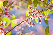 Pink Blossom Print by Suradej Chuephanich