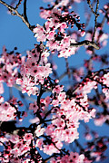 Cherry Art Prints - Pink Blossoms On The Tree Print by Irina Sztukowski