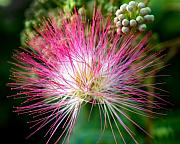 Mimosa Photograph Posters - Pink Boa - Mimosa Flower Poster by Steven Milner