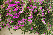Dalt Prints - Pink bougainvillea growing on wall Print by Rosemary Calvert