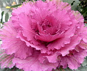 Kate Gallagher - Pink Cabbage Flower
