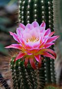 Pink Cactus Flower Print by Nancy Mueller
