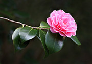 Camellia Photo Metal Prints - Pink Camellia Flower  Metal Print by Jennie Marie Schell