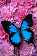 Insects Posters - Pink Camilla and Blue Butterfly Poster by Garry Gay