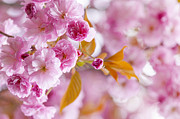 Pink Cherry Blossoms In Spring Orchard Print by Elena Elisseeva
