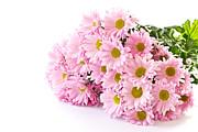 Pink Chrysanthemum Prints Print by Boon Mee