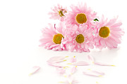 Mediterranean Butterfly Prints - Pink Chrysanthemums Beautiful Print by Boon Mee