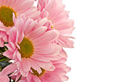 Cheap Flower Pyrography Posters - Pink Chrysanthemums Poster by Boon Mee