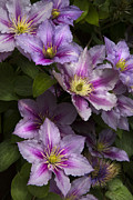 Flowering Vines Posters - Pink Clematis Poster by Debra and Dave Vanderlaan