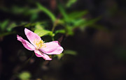 Climbing Photos - Pink clematis in sunlight by Jane Rix