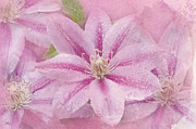 Betty Larue Posters - Pink Clematis Profusion Poster by Betty LaRue