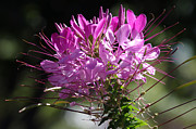 Cleome Flower Framed Prints - Pink Cleome Flower 03 Framed Print by J M L Patty