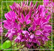 Cleome Flower Framed Prints - Pink Cleome Flower Framed Print by Rose Santuci-Sofranko