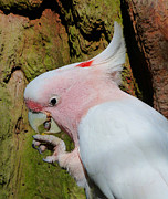 Snack Time Prints - Pink Cockatoo Snack Time Print by Margaret Saheed