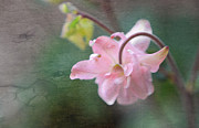 Soft Grunge Framed Prints - Pink Columbine Framed Print by Charline Xia