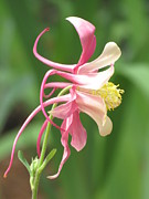 Rebecca Overton - Pink Columbine