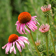 Cone Flowers Posters - Pink Cone Flower Poster by Art Block Collections