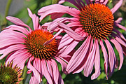 Cone Flower Digital Art Posters - Pink Coneflowers Poster by Athena Mckinzie