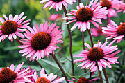 Cone Flower Digital Art Posters - Pink Coneflowers Poster by Suzanne Gaff