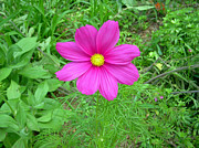 Pink Cosmos Print by Aimee L Maher
